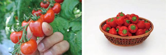 (写真左から)「甘~くとろけるミニトマト つやぷるん」「鈴なりパプリカ りんりん」