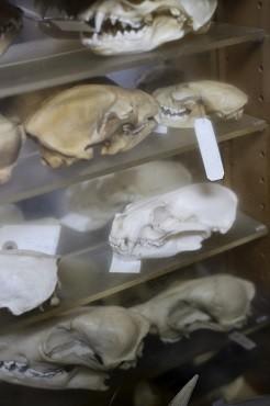 カワウソコレクションの一つ。中段右の白いものが、ユーラシアカワウソの頭蓋骨。