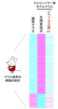「ビフィズス菌A1」摂取によるマウス海馬の網羅的遺伝子解析