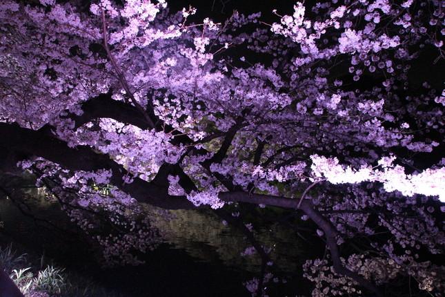 夜桜ライトアップは18時~22時まで