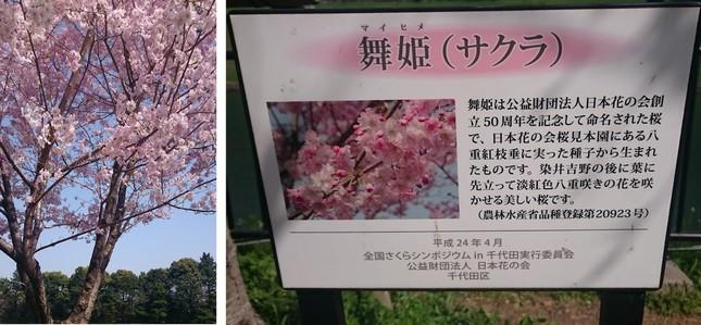 千鳥ヶ淵公園にある桜「舞姫」。色合いや花びらの形が可愛らしく、多くの女性が写真に収めていた