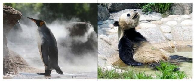 プールにつかるジャイアントパンダとどこかを見つめるペンギン