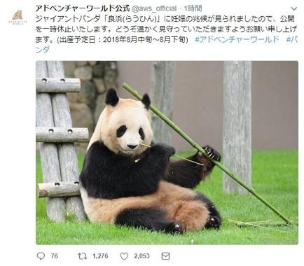 ジャイアントパンダが妊娠の兆候(画像はアドベンチャーワールドの公式ツイッターアカウントより)