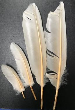 トキの羽根(提供:環境省)