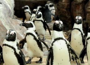 親子の情より恋心 京都水族館ペンギン59匹のドロドロな世界