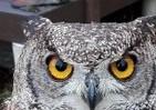 東京・杉並区に出没した「ミミズク」 ところで「フクロウ」とどう違う?