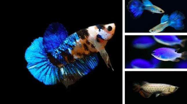 ジュエリーアクアリウムで展示される観賞魚。右下はアジアアロワナ。