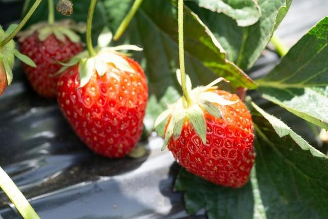 東京発の新イチゴが誕生