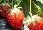 東京生まれのイチゴ「おひさまベリー」 開発開始から20年で品種登録