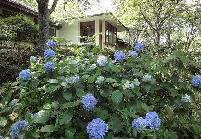 あじさいが咲き誇る庭園