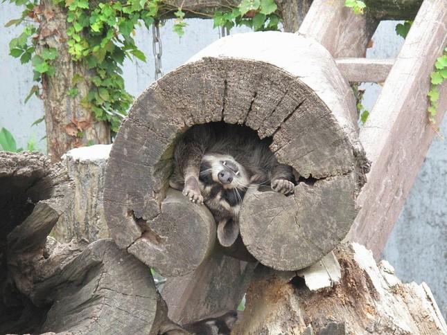 木の洞の中で暑さを凌ぐアライグマ(平川動物公園ツイッター@hirakawazooより)