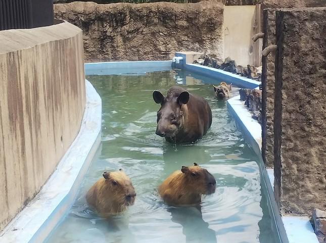 プールに入るバクとカピバラ(平川動物公園ツイッター@hirakawazooより)