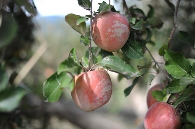 長野のりんごを食べて応援