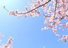 「100日後に死ぬワニ」の「後日談」 ネズミ「よくね?」と送った桜の写真から...