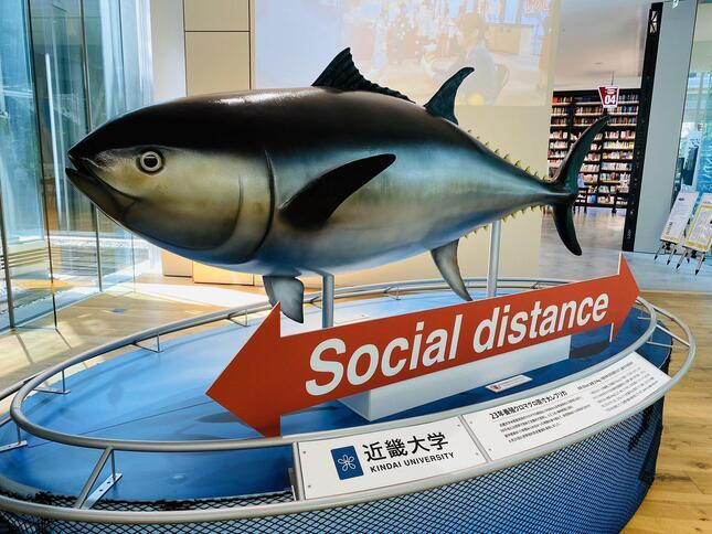 ソーシャルディスタンスの目安を示すマグロのレプリカ(画像は近畿大学広報室提供)