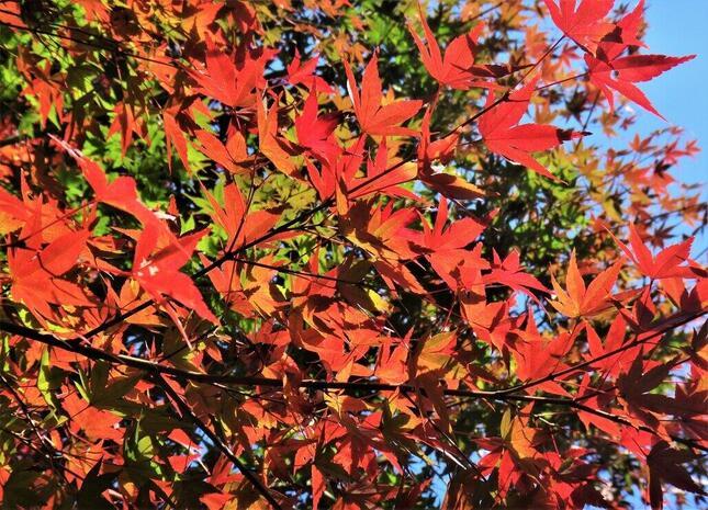 紅葉の季節、寂聴さんの胸には得度の日がよみがえる