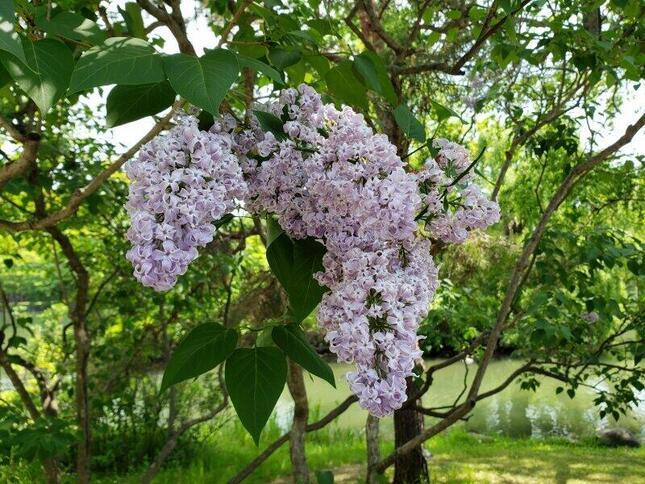 北海道の札幌で5月に出会ったリラ(ライラック)の花。同じ季節にラフマニノフも露の田舎でこういった光景を見てこの曲を書いたのだろうか