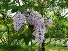 ライラックの咲き乱れる早春の風景とラフマニノフの愛着 「リラの花」