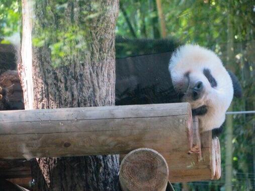 ようやくパンダに会えると思いきや(写真はイメージ)