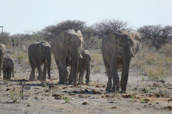 野生のゾウの集団は数百キロも移動するようだ