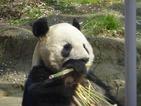 上野動物園で双子のパンダ誕生 「1日行列、見るのは数秒」それでも並ぶ心理
