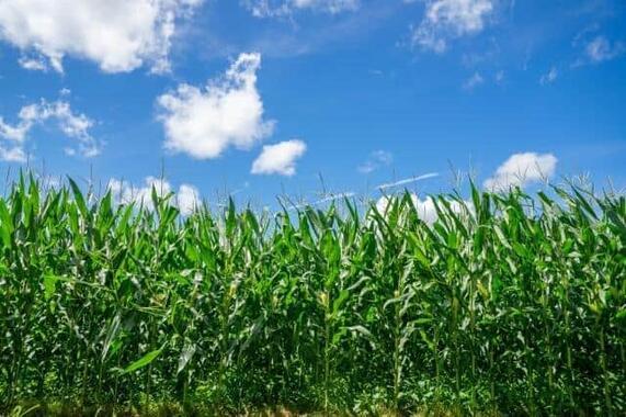 トウモロコシ畑が大変身