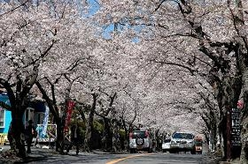 JR東日本  「湯めぐり花めぐりスタンプラリー」(写真は伊豆高原の桜)提供:伊豆観光協会