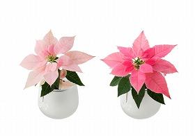 2色のピンクが愛らしい、手間いらずの「鉢植え」