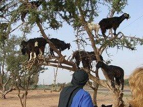 ヤギが木に登って実を取るのが、伝統的な採取法だが