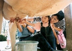 牛の乳搾りを体験してみませんか?