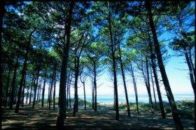 フランス南西部に生育する海岸松の樹皮から取れる「フラバンジェノール」