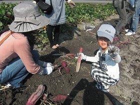 さつま芋の収穫を楽しむことができる