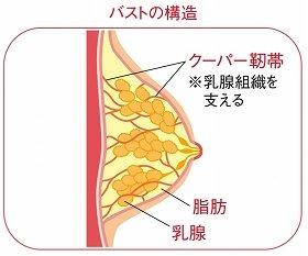 バストの構造。これを見ると、クーパー靭帯の重要さがわかる