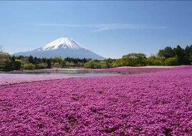 一面の「桜」世界