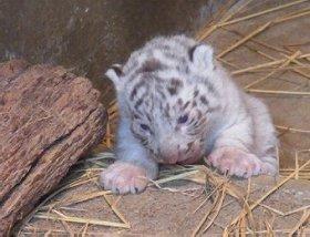 ホワイトタイガーの赤ちゃんたちがじゃれあう、愛らしい姿が見られるかも!?