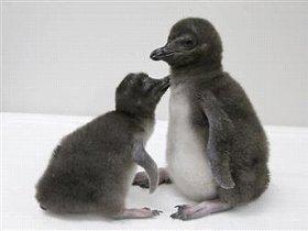マゼランペンギンの赤ちゃん