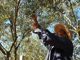 オリーブ国内栽培発祥の地・小豆島