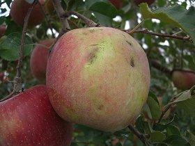 台風26号の影響で表面が傷ついたリンゴ(長野県下伊那郡松川町)