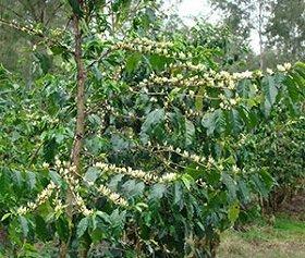 青々と茂ったコーヒーの木