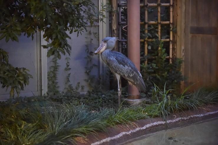 上野動物園の人気者「ハシビロコウ」の夜の姿も
