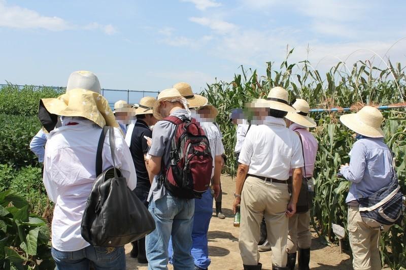 最高気温36度を超えるなか、圃場でGM作物の実情を見学