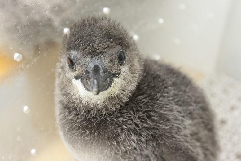 赤ちゃんペンギンの泳ぎトレーニング すみだ水族館で公開