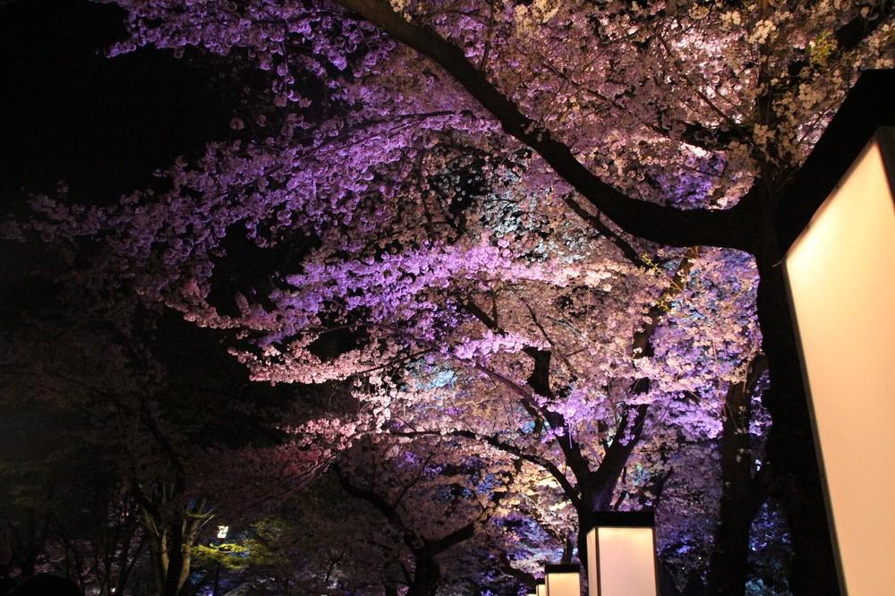【写真で紹介】幻想的な夜桜をどうぞ 花見の名所・千鳥ヶ淵緑道ライトアップ