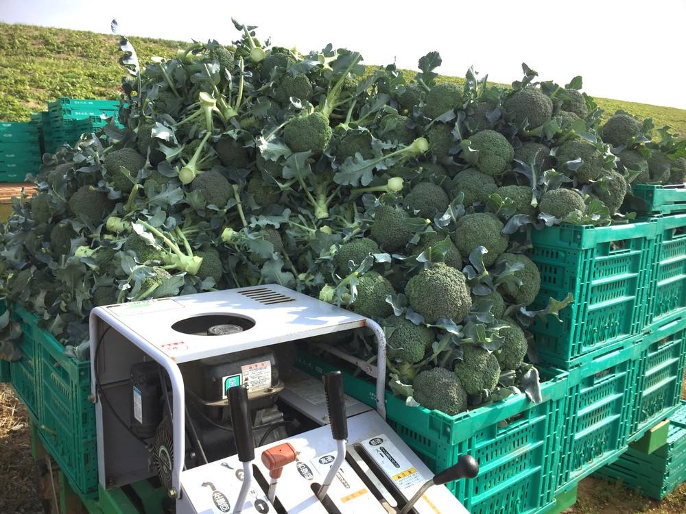 有限会社安井ファームが収穫したブロッコリー