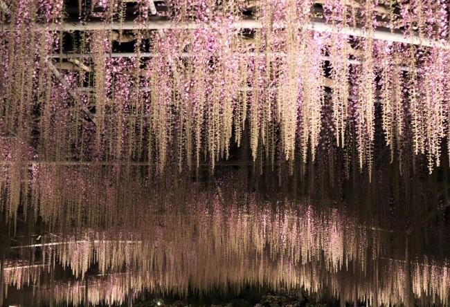 10連休中に最高潮を迎える藤の花 あしかがフラワーパークで見頃に