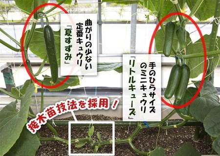 1つの苗に2品種のキュウリができる サラダ用とピクルス用...「同時」に簡単栽培