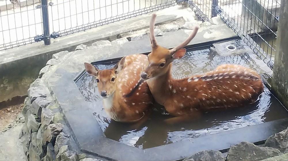水飲み場につかるハナジカ(平川動物公園ツイッター@hirakawazooより)