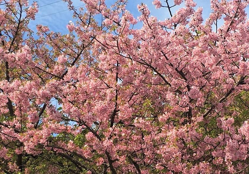 暖冬だった今年は「春愁」も早め? 三浦半島のカワヅザクラ=冨永写す