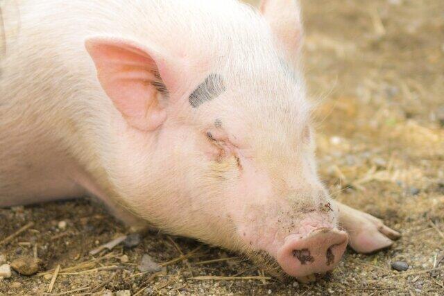 東京で野生イノシシから「豚熱」 中国では新型豚インフルエンザ、伝染病が心配