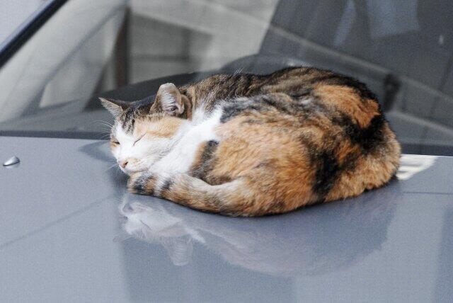 「猫バンバン」で安心しないで 「猫の日」に確認「叩いた後ボンネット開ける」